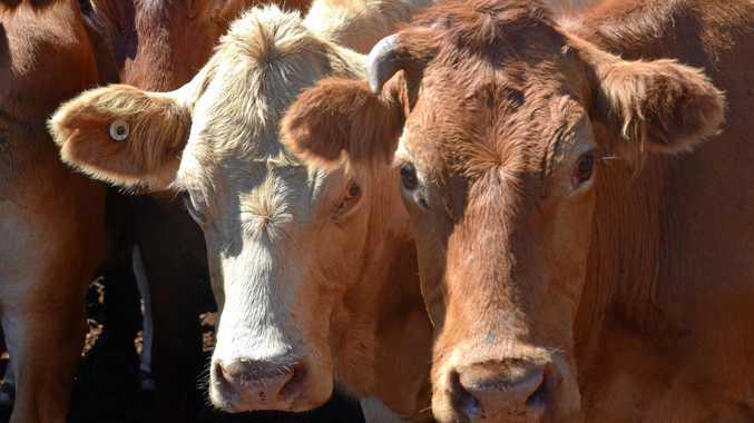 WARNING: Disease kills cows on Northern Rivers