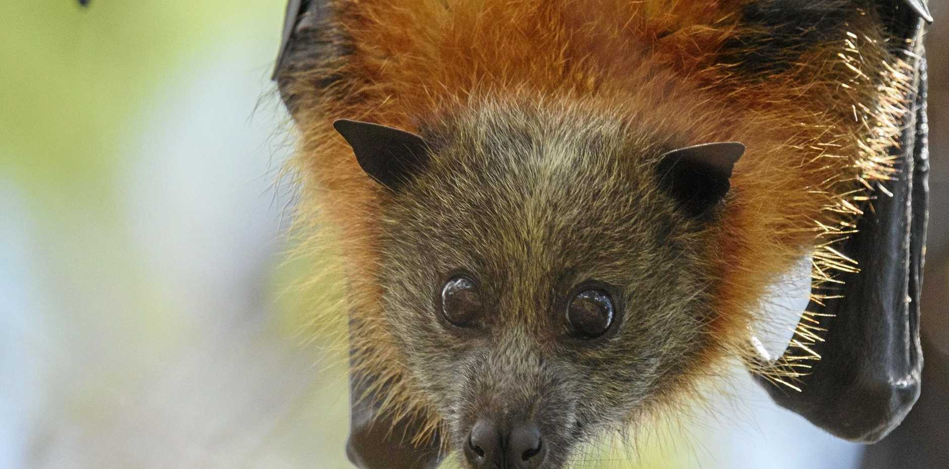 FLYING FOXES: Byron Shire Council and the NSW Government will help create buffer zones to protect flying foxes and prevent annoyance in the community.
