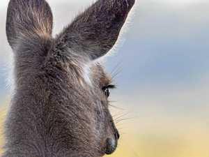 Kangaroo bounces down busy Toowoomba street