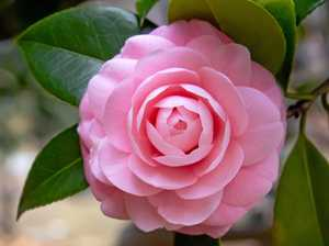 Camellias can last hundreds of years in right conditions