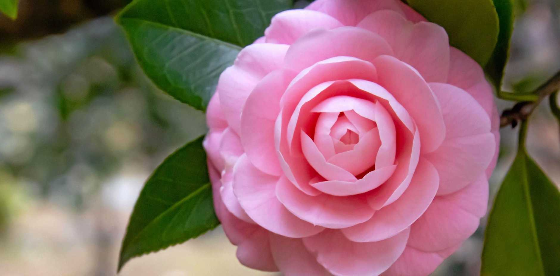 Camellias flower from about May through to August/September.