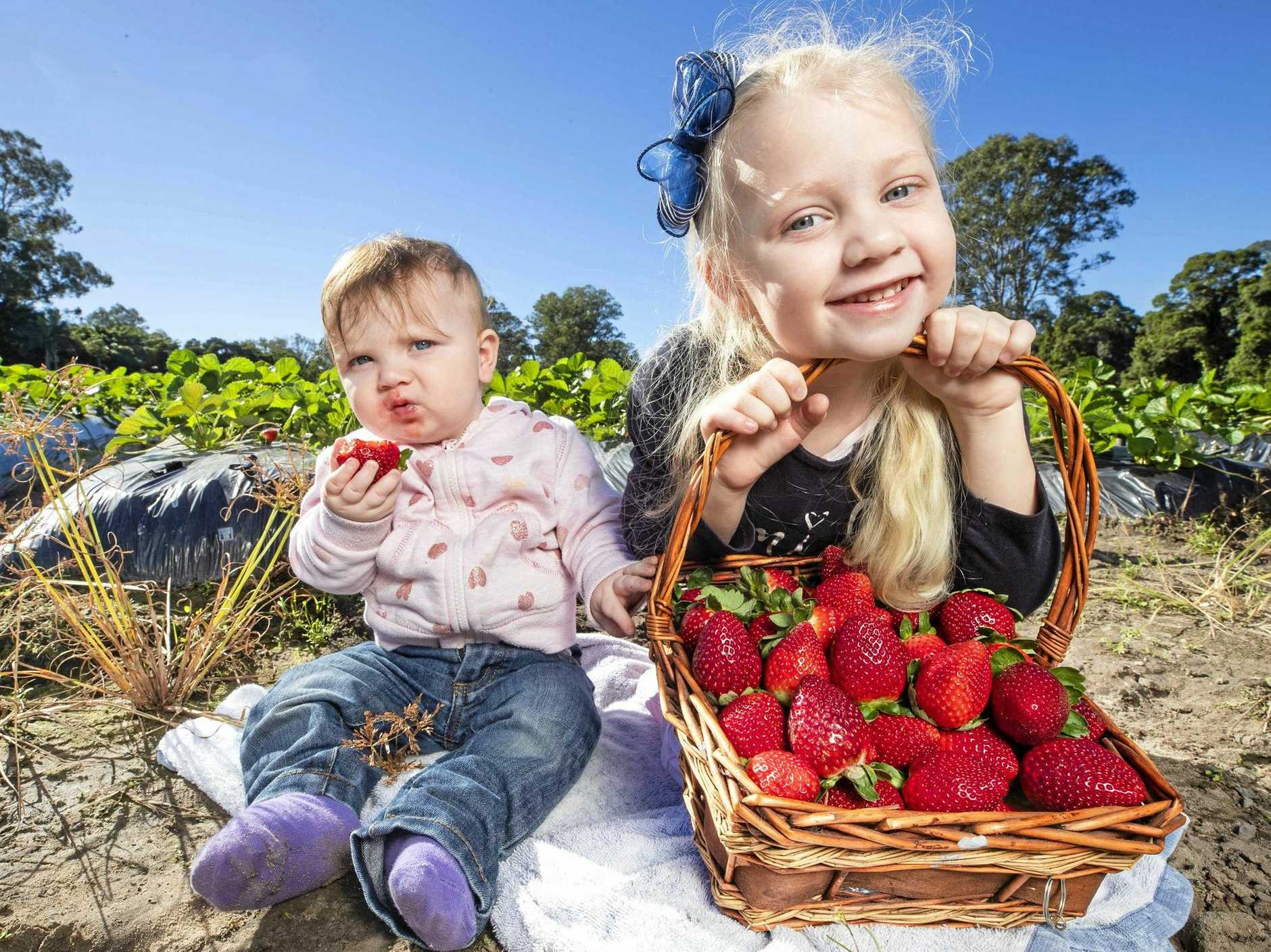 SWEET FUN: Sisters Ruby, 11 months, and Alana Black, 5, from Bribie Island, pickings strawberries at Strawberry Fields.