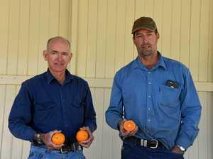 New mandarin hybrid previewed in Gayndah
