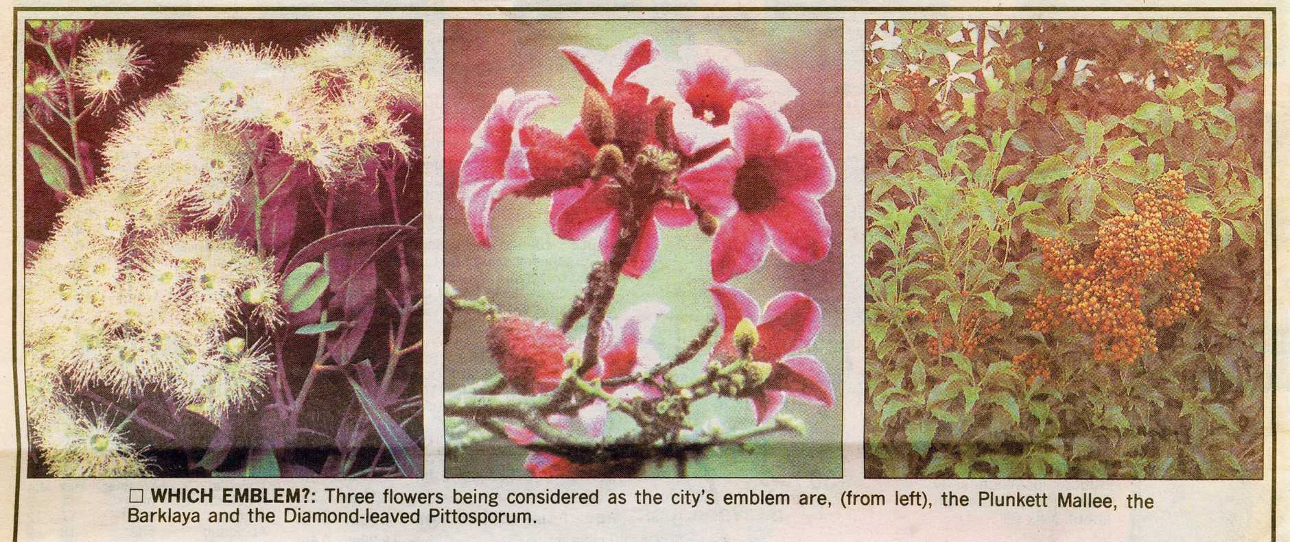 FLORAL HOMAGE: The three flowers being considered as the City emblem in 1996 - The Plunkett Mallee, the Barklaya and the Diamond leaved Pittosporum.