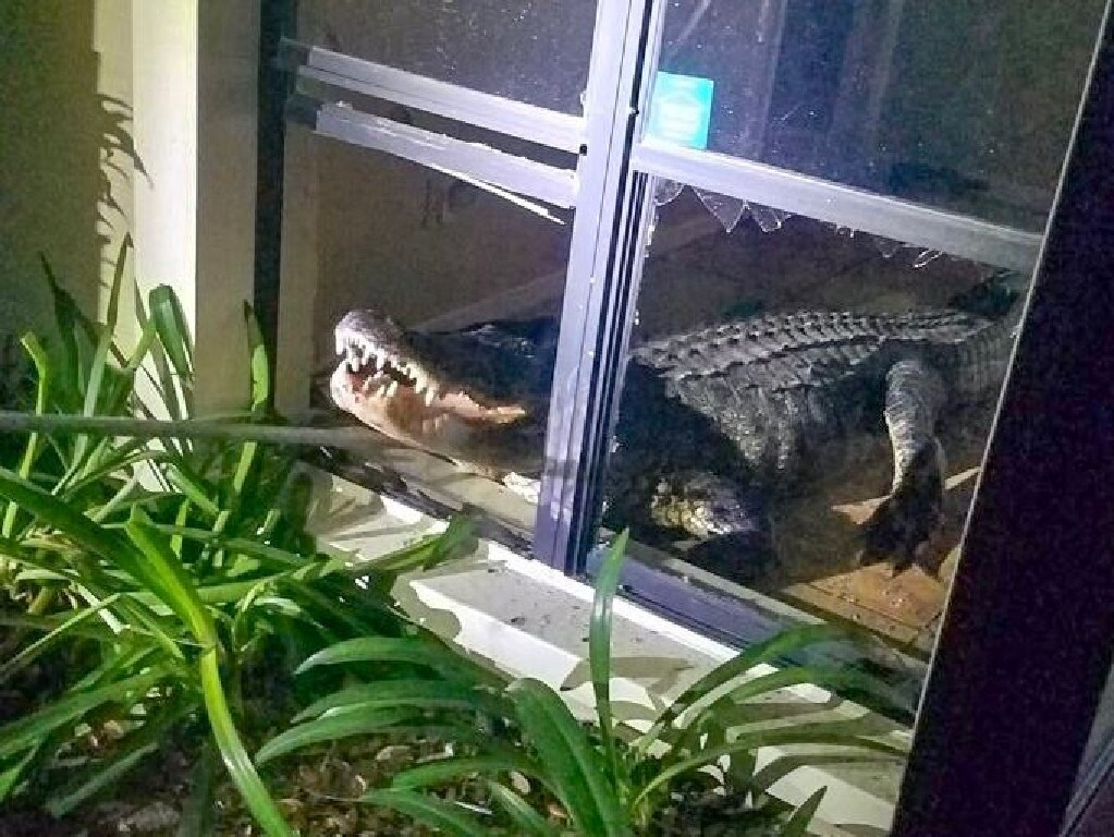 Police and a trapper wrangled in the 'gator and no-one was hurt. Picture: Twitter