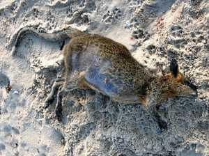 Wallaby dragged, mauled to death at on-leash beach