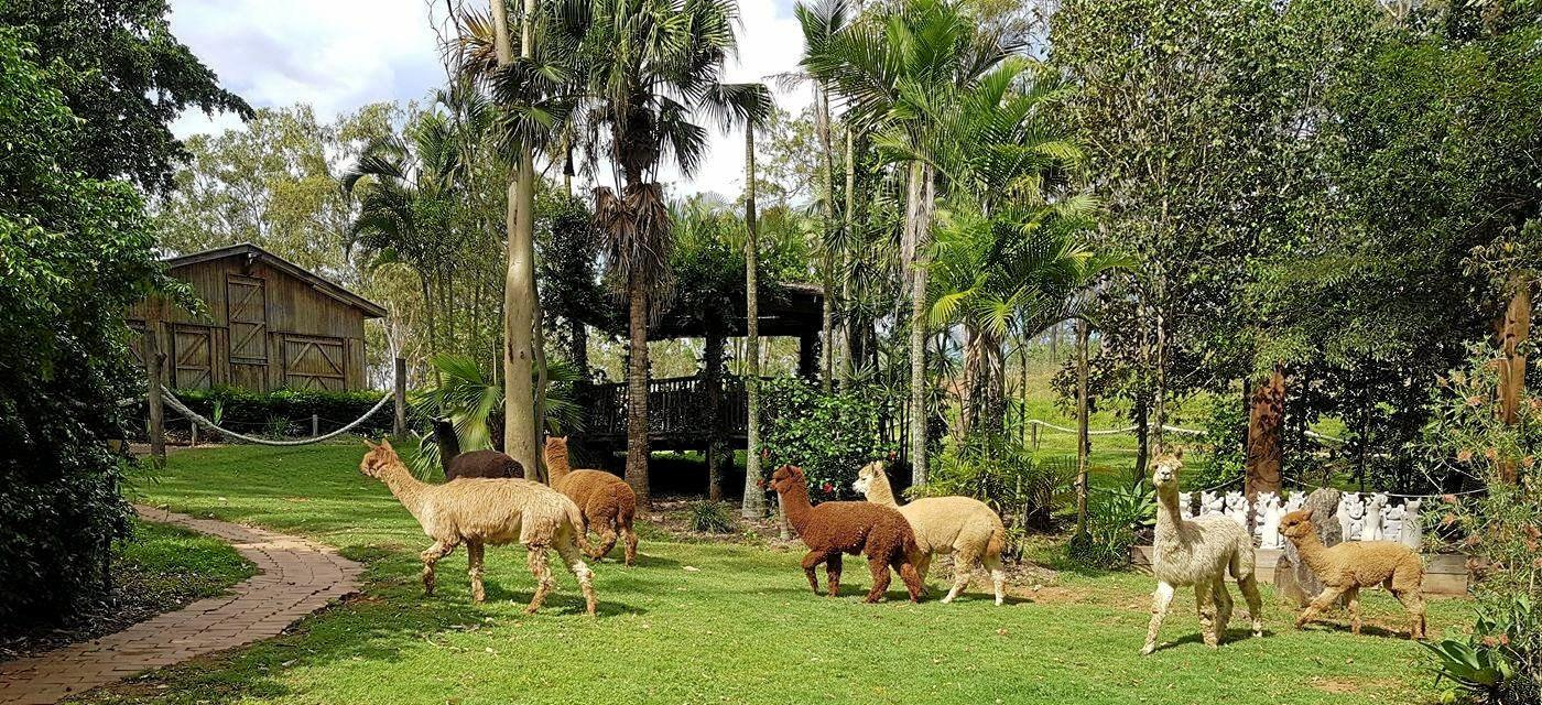 FOR SALE: Cedar Galleries in Calliope is on the market and it comes with seven alpacas.
