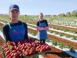 Bundy farmer explains what makes a good strawberry