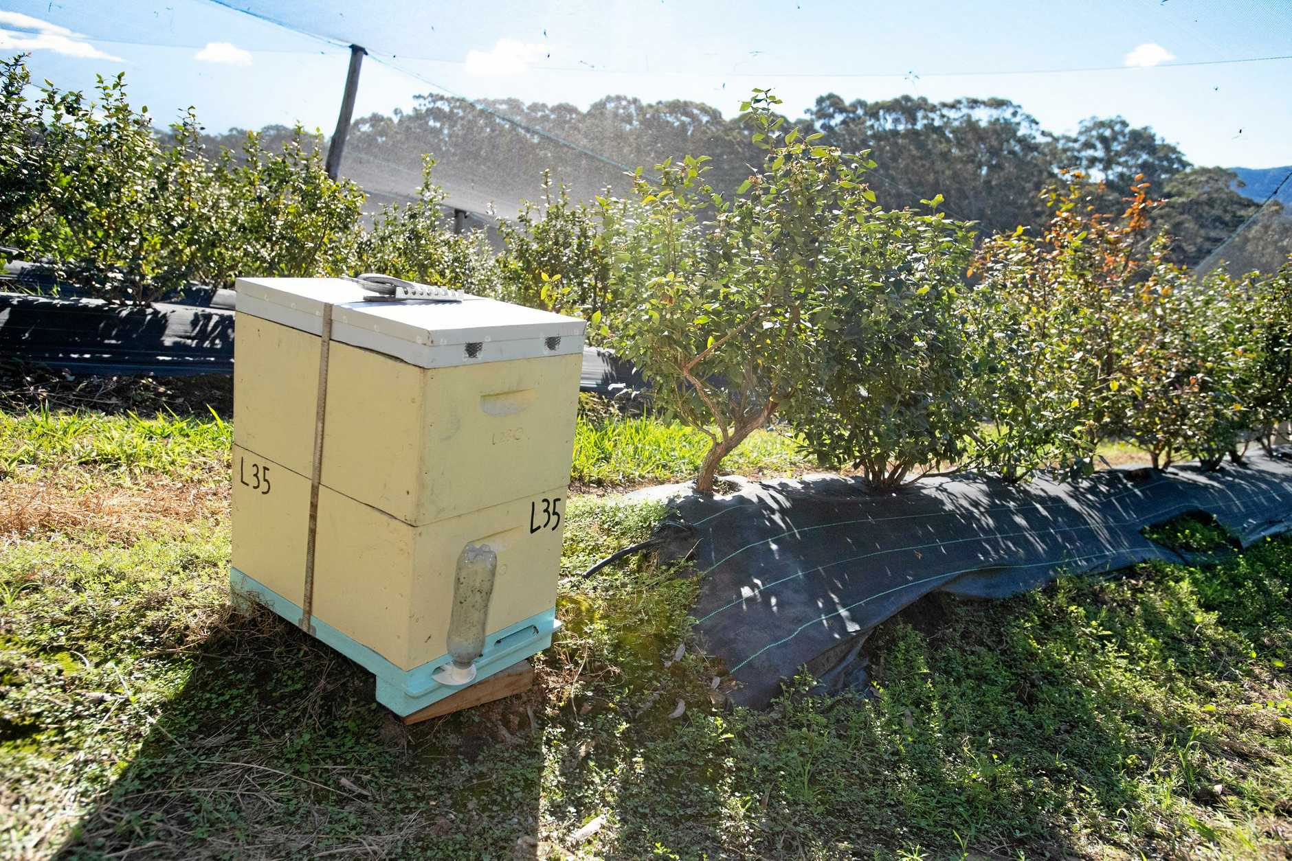 Bee Keeper Ben Laybutt ,supplies bee hives to  pollinate blueberry farm plants.. 04 MAY 2019