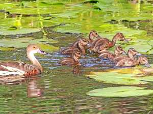 BRIGGSY'S BIRDS: Whistling duck a colourful characters
