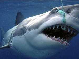State steps up shark control program despite court decision
