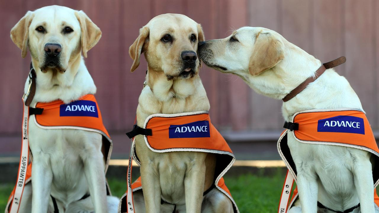 Guide dogs Doug, Yasmin and Esme. Picture: Tara Croser