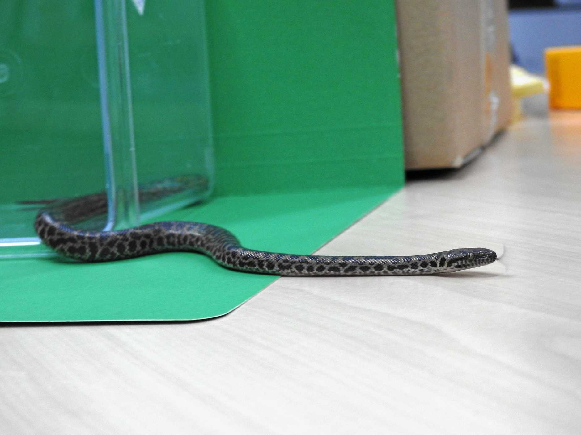 The spotted python a man allegedly tried to bring into Mackay courthouse.
