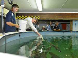 Gladstone barra hatchery on the move after budget boost