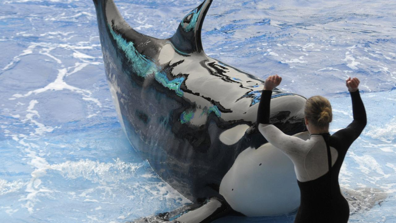 Canada's parliament has passed a new bill to ban whales and dolphins in captivity. Picture: AP