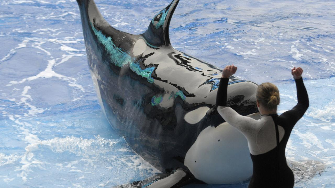 Canada's ban on captive whales and dolphins will not affect those already in captivity, meaning nearly 60 animals will likely live out their natural lives at Marineland and the Vancouver Aquarium. Picture: AP
