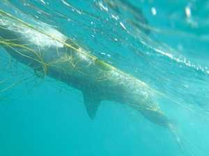 New call for whale season shark net ban