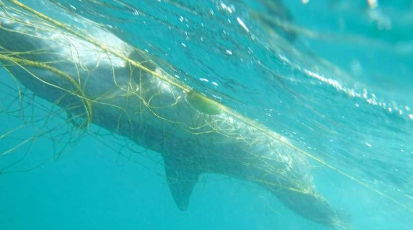 TANGLED UP: This sub-adult bottle nose dolphin was killed in shark nets off Noosa's Main Beach.