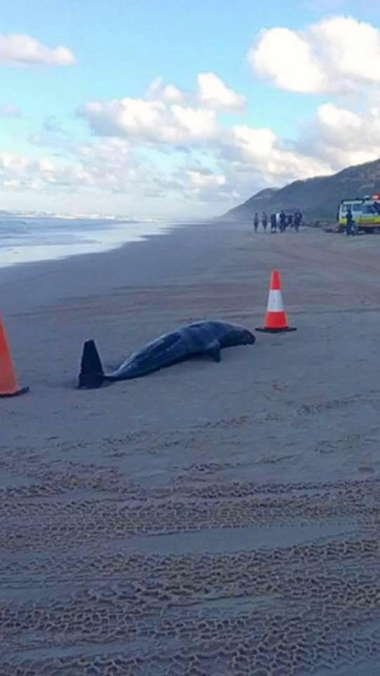 The carcass of a deceased melon-headed whale that washed up on Fraser Island.