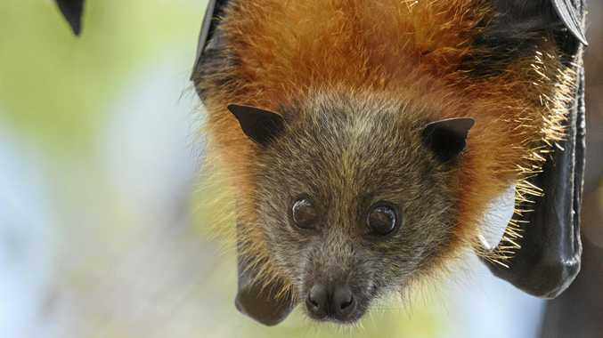 Flying foxes getting too close for comfort
