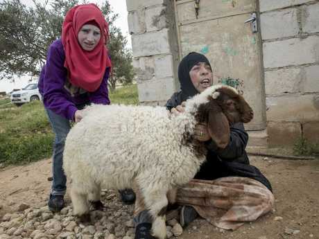 Nadia Al-Hajar's family takes care of their sheep donated by the Red Crescent in the Halaya village near Homs. Picture: Ella Pellegrini