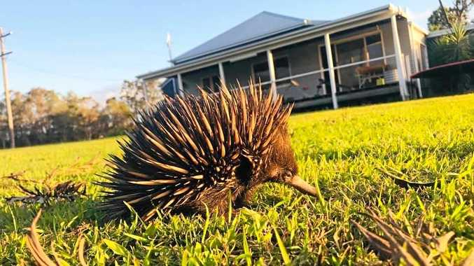 The curious reason you're likely to spot an echidna