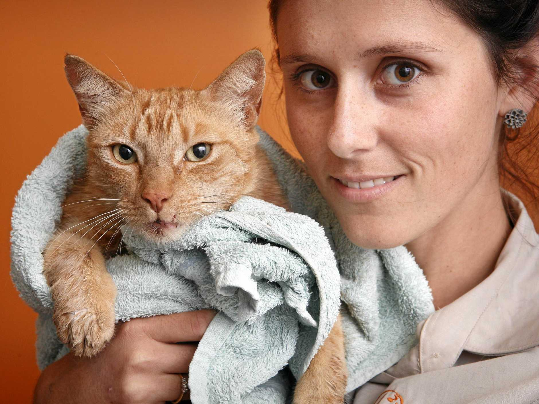 Veterinary nurse at Riverbank Animal Hospital with the cat that was rescued from the Grafton bridge yesterday.  Photo Adam Hourigan / The Daily Examiner