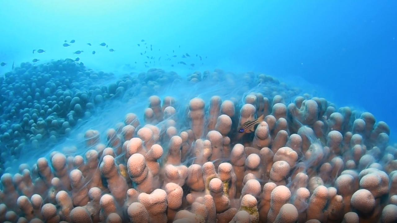 Coral spawning at Challenger Bay, in the Ribbon Reefs, southeast of Lizard Island. PHOTO: Lorenzo Ballarin
