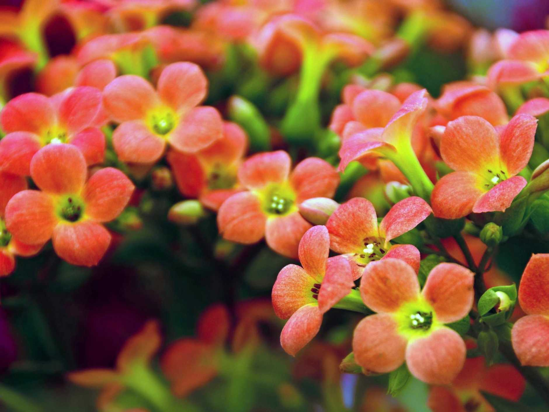 Kalanchoe has up to 30 brilliantly coloured flowers on each of its stems.