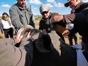 Rhino's horn trimmed in South Africa