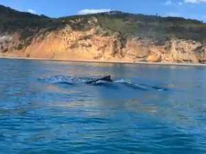 Shark nets catch their first humpback of the season