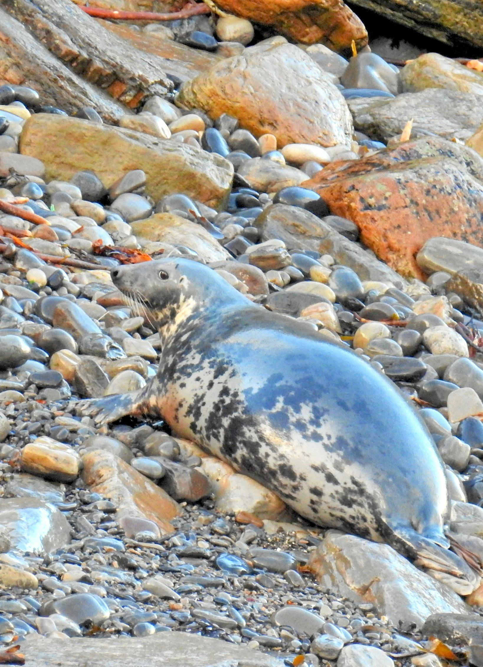 Seals  laze on the beach at Windwick Bay.