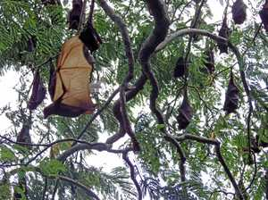 How a $15,000 grant will help manage flying fox camp