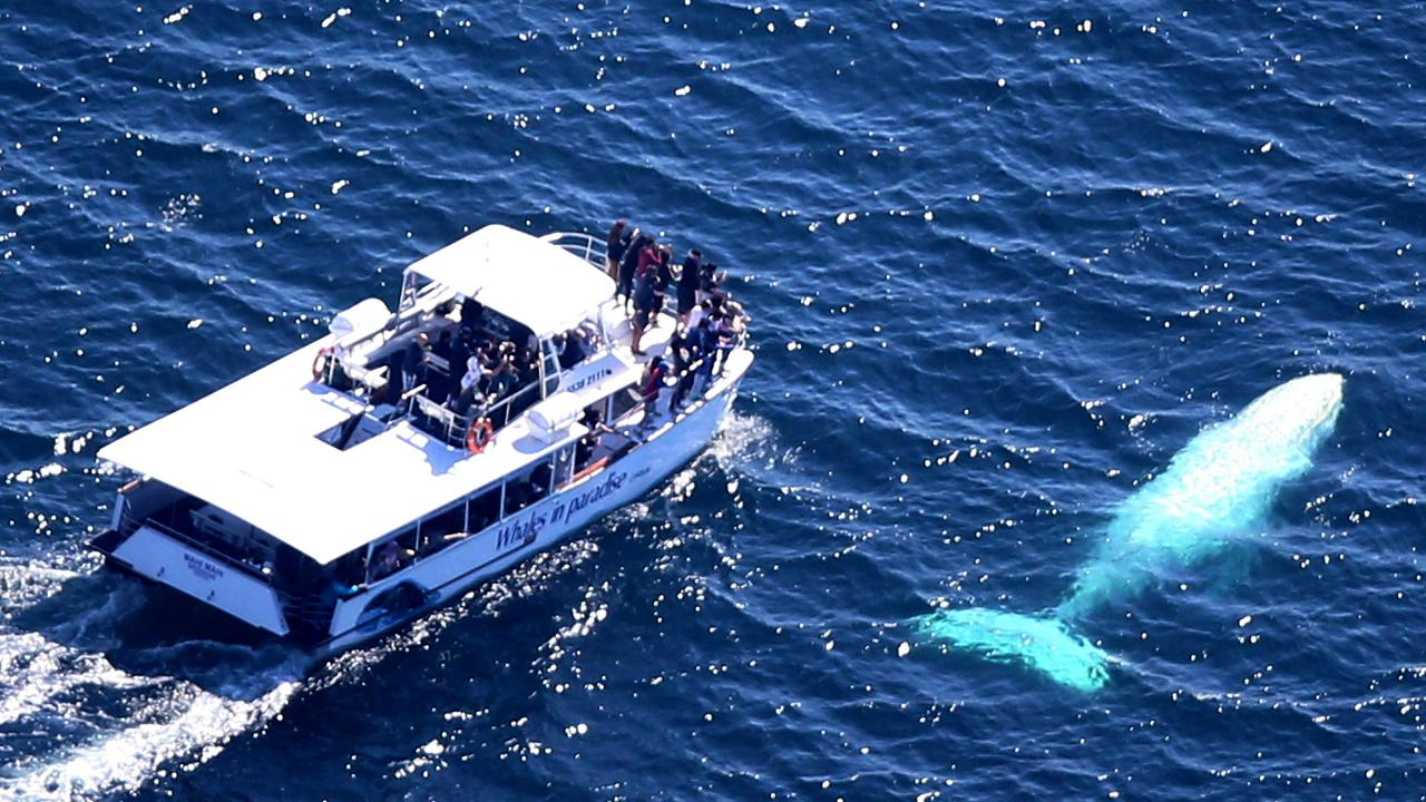 Migaloo the white whale during a past sighting northeast of the Gold Coast Seaway. Picture: Richard Gosling