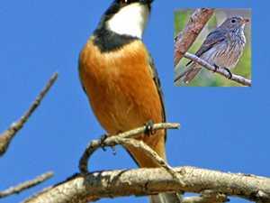 BRIGGSY'S BIRDS: Unique traits of whistler species