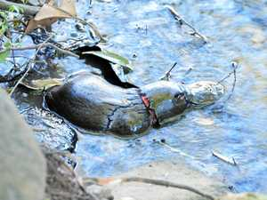 Plastic band could kill beloved platypus