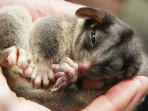 How this tiny possum cost Victoria $20m