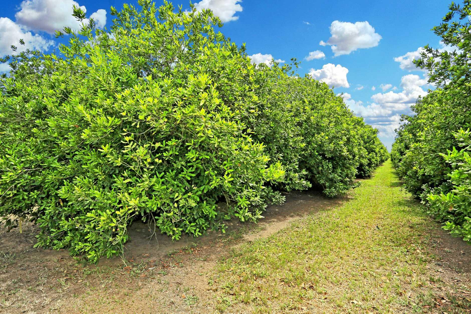 Macadamia Plantation up for sale in Bundaberg.