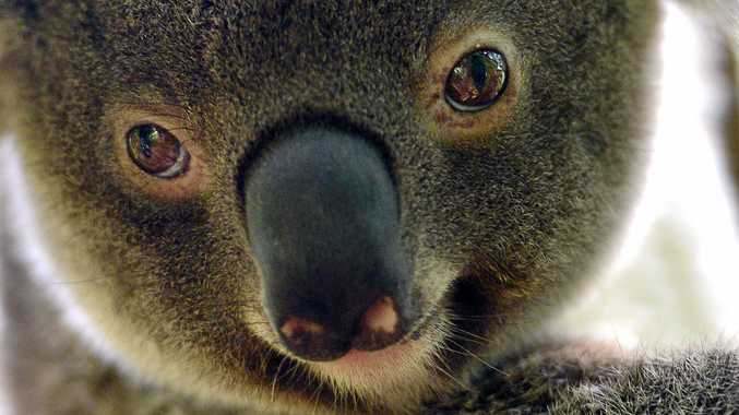 Why Tweed must be included in NSW koala inquiry