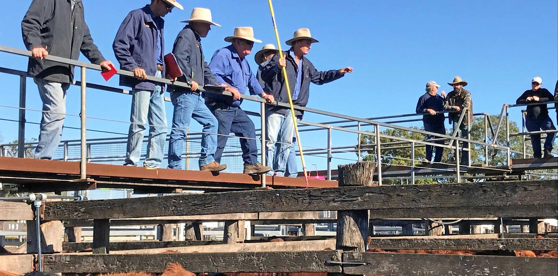 Plenty of action at the bi-annual weaner sales at South Burnett Livestock Exchange.