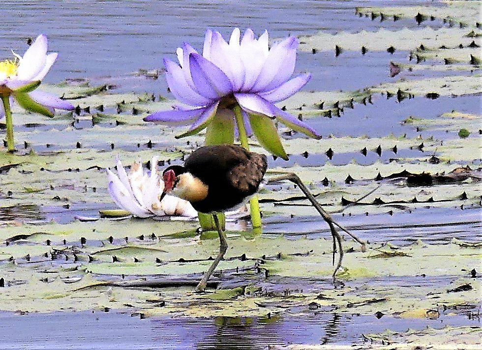 the comb crested jacana
