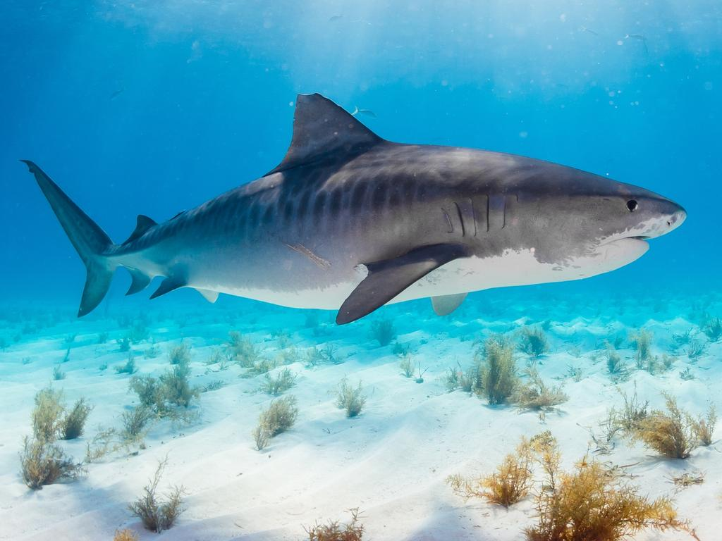 Tiger sharks are common in the Caribbean and temperate waters. Picture: Supplied
