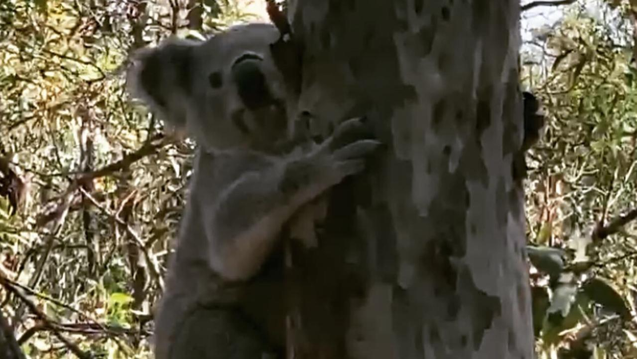 Poh the Koala is returned to bushland by the RSPCA.