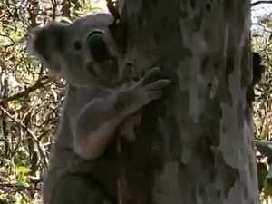 Koala released after being rescued from busy suburban road