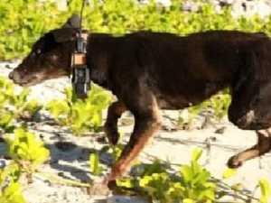 Dingo v goat: One winner in island death match