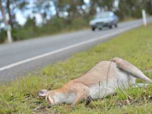 SLOW DOWN: Too many roos falling victim to vehicle strikes