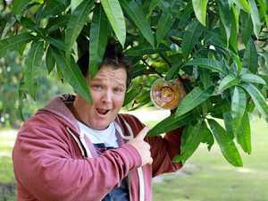 Mango madness: Early start to golden fruit season