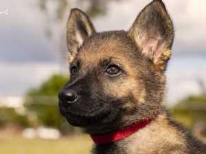 Meet Queensland Police's newest dog squad