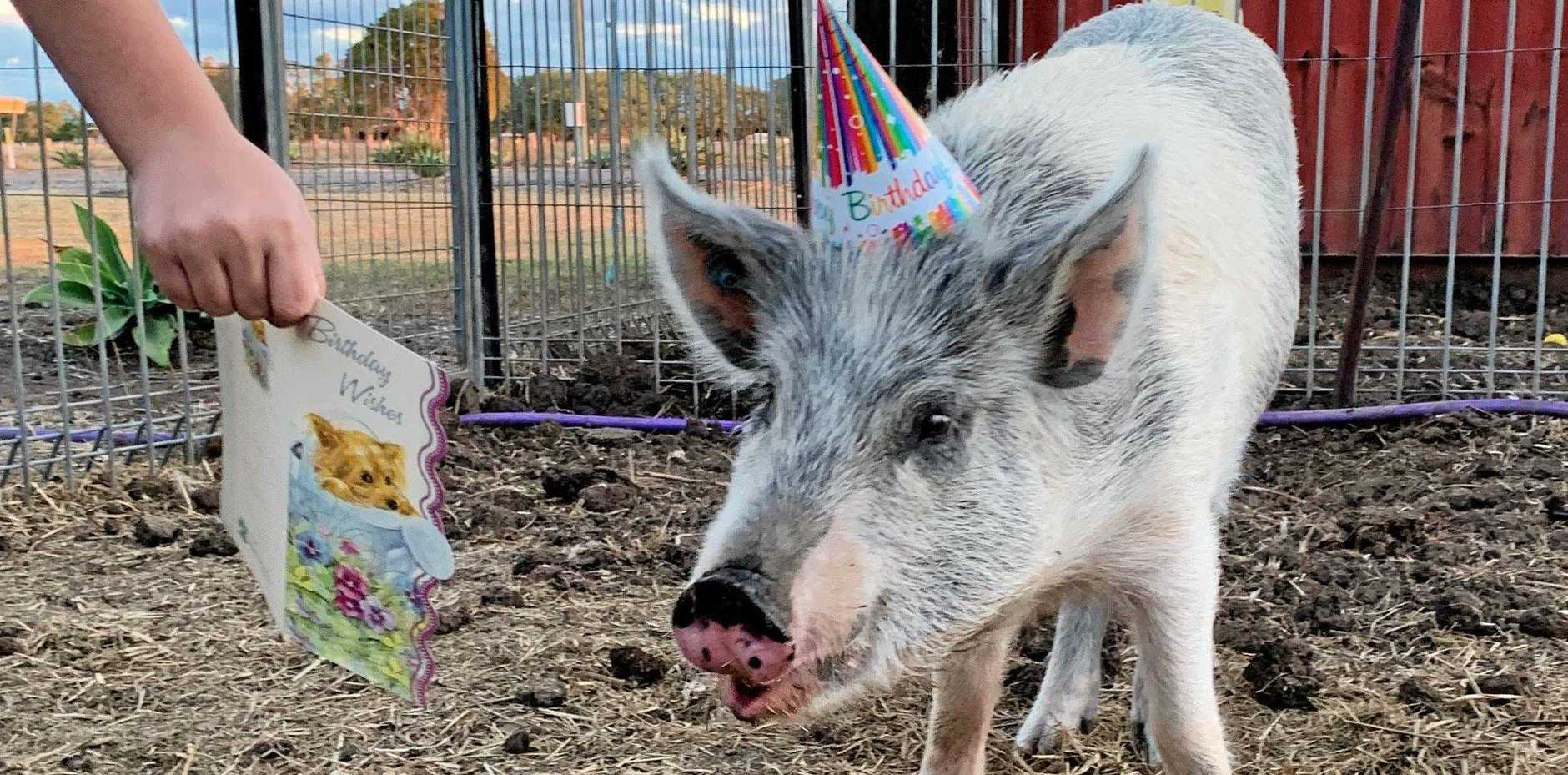 MISSING PIG: Ned disappeared from the family's property in Lower Mount Walker a week after the family celebrated his first birthday.
