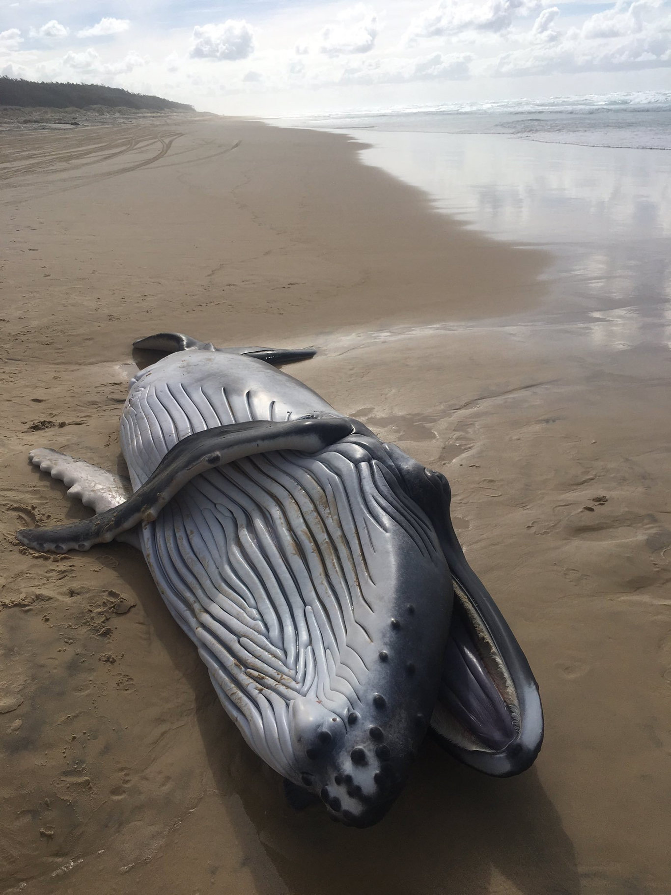 A dead baby humpback whale was found washed up on a Fraser Island beach south of Indian Heads on Tuesday.
